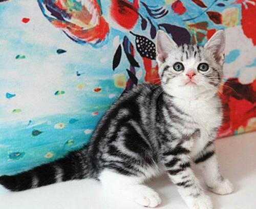 广州卖猫的地方 广州哪里买短毛猫好 美国短毛猫价格