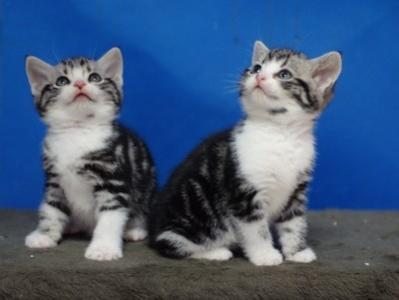美短加白多少钱一只 深圳哪里有猫舍 深圳什么地方有猫舍