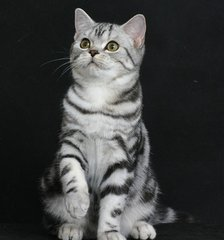 当面签协议广州哪里有卖美短幼猫猫咪