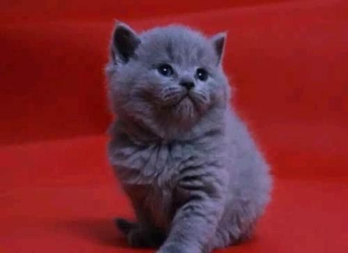 纯种的英国短毛猫蓝猫深圳哪里有卖蓝猫的