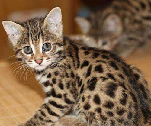 深圳豹猫出售深圳哪里有宠物店纯种豹猫多少钱