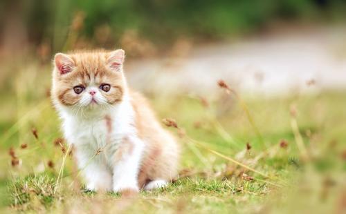 品种繁多,价格限时优惠深圳哪里有卖加菲猫