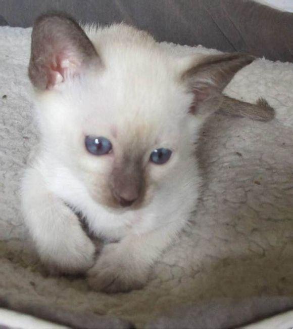 珠海哪里有卖暹罗猫 疫苗齐 包健康暹罗猫什么价格