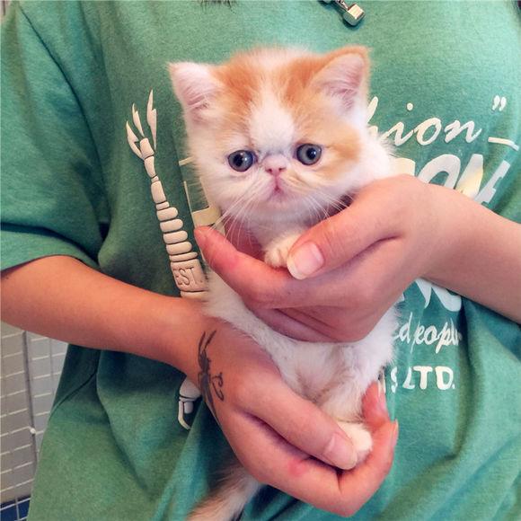 超可爱粘人的猫猫 加菲猫广州哪里有卖加菲猫多少钱
