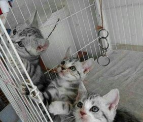 本地猫舍珠海哪里有卖美短猫咪