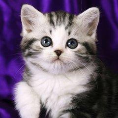 全程为您服务深圳哪里有美短猫虎斑加白卖 纯血统