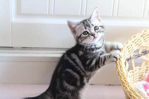 包子 虎斑条纹 正规猫舍江门哪里有卖纯种美短猫咪的