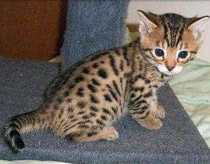 纯种豹猫多少钱一只中山哪里有出售豹猫的