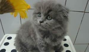 可爱的折耳猫打过疫苗 很健康惠州哪里有卖折耳猫