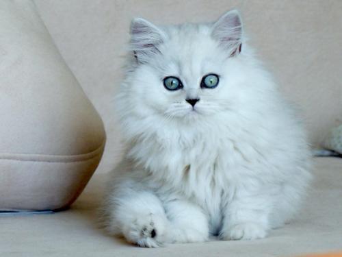 金吉拉 纯种健康广州哪有卖金吉拉猫仔的
