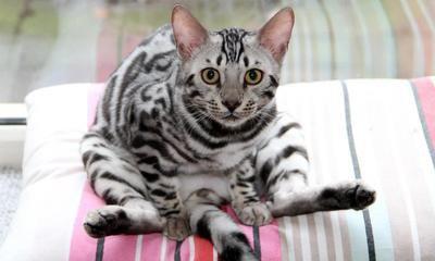 佛山买猫有保障 可上门挑选佛山哪里出售孟加拉豹猫