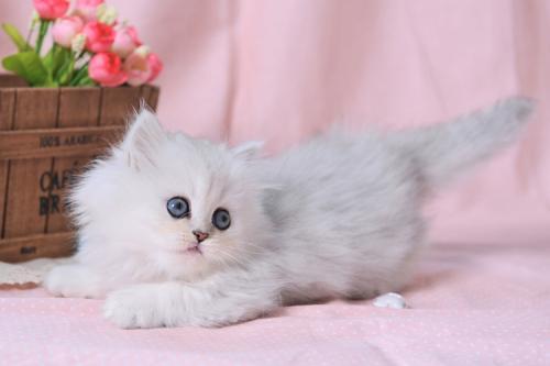 深圳哪里有卖纯种金吉拉猫 健康有保证签订协议