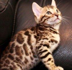 正规猫舍出售纯种孟加拉豹猫东莞哪里有卖豹猫