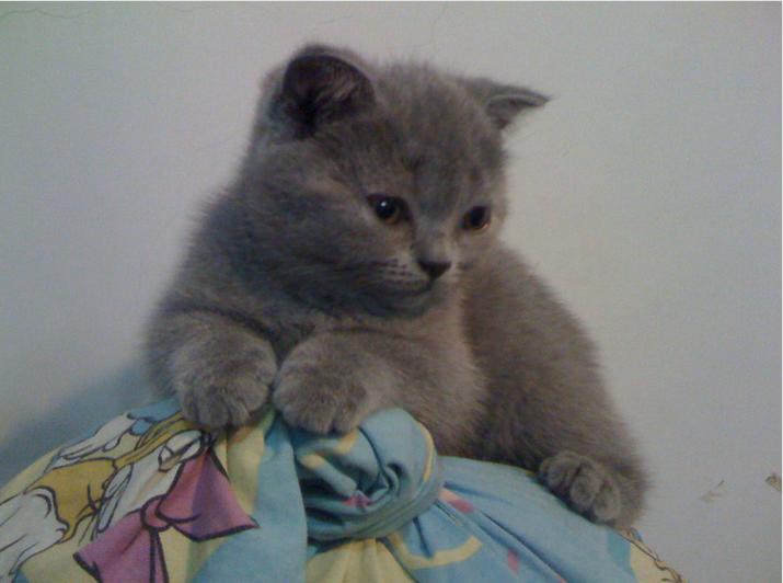 英短蓝猫一只多少钱?佛山哪里有卖蓝猫高品质蓝猫