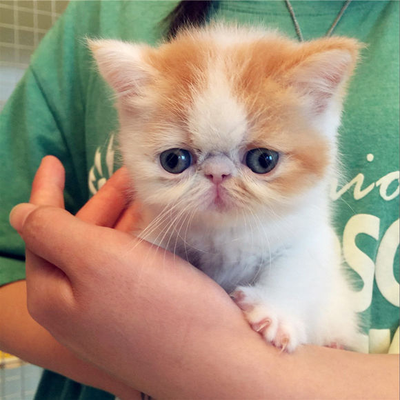 可线上挑选宠物猫,放心猫舍深圳哪里有卖加菲猫
