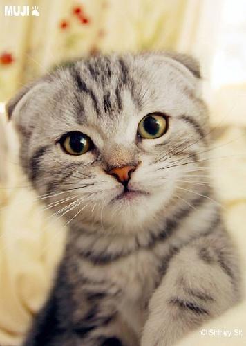 网红折耳猫东莞哪里有卖折耳猫幼猫的