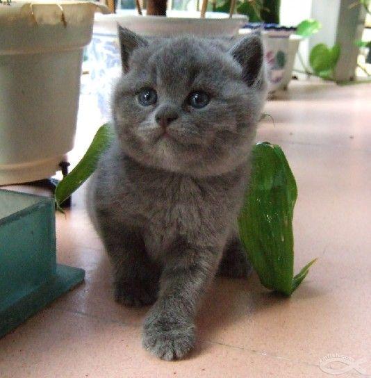 蓝猫好养吗多少钱 东莞哪里有卖蓝猫 纯种蓝猫
