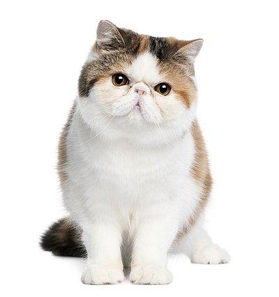 北京最大波斯猫猫舍、纯种波斯猫价格、官方推荐猫舍、五星好评