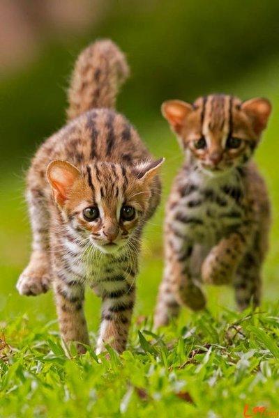 北京正规豹猫猫舍、纯种豹猫、保纯度保健康、官方推荐猫舍