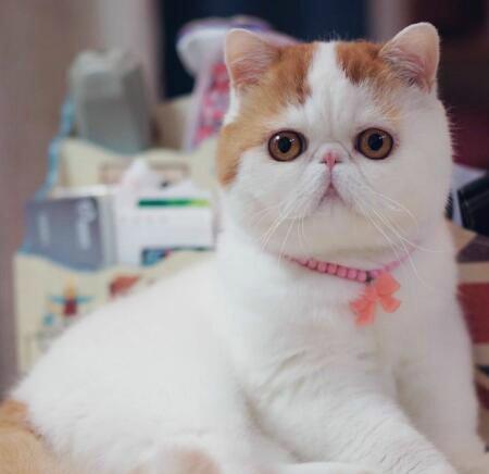 北京最大加菲猫舍、官方推荐猫舍、五星好评、三年质量健康保障