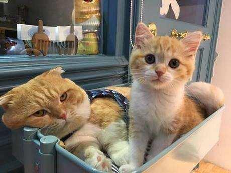 国内最大猫舍、五星好评猫舍、正规中华田园猫舍、终身质保