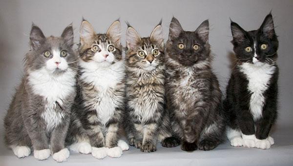 最大缅因猫舍、官方推荐、五星好评猫舍、终身质保、可签协议