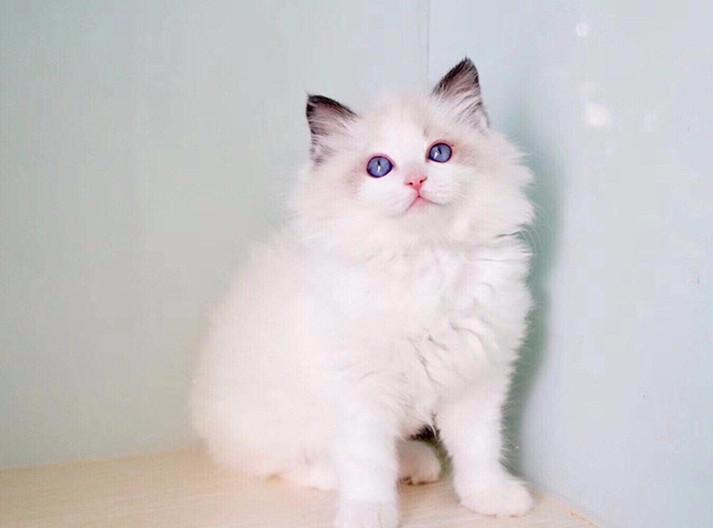 北京最大金吉拉猫舍、官方推荐猫舍、终身质保、五星好评猫舍