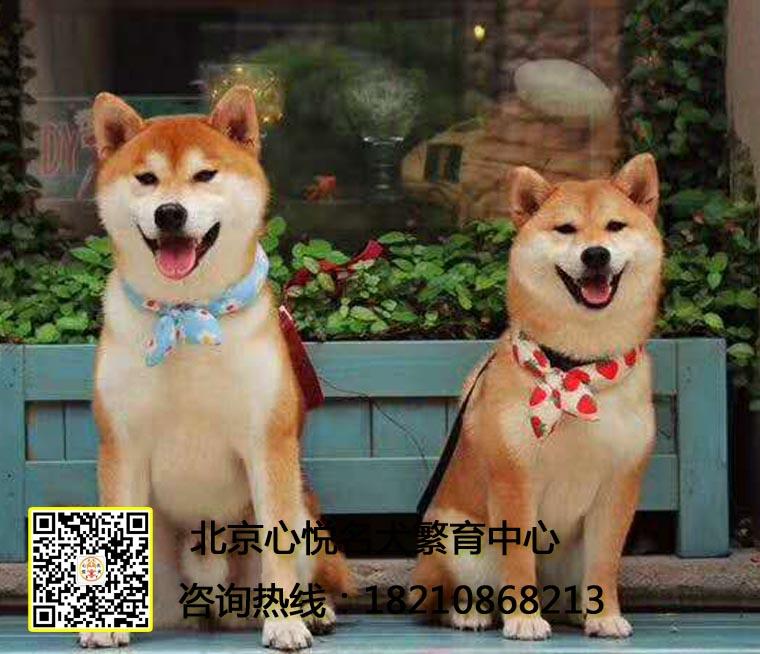 北京出售柴犬网红同款日系柴犬价格便宜直销保健康协议