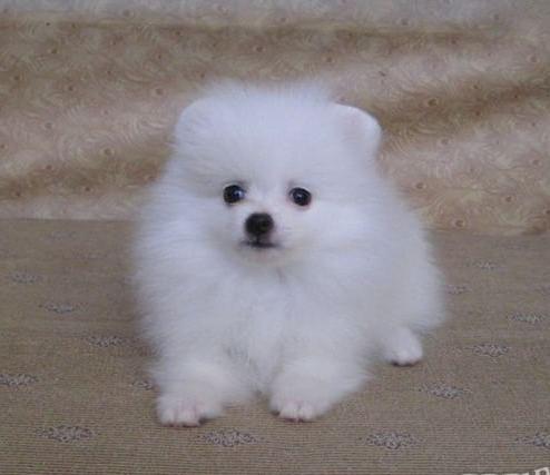 家养纯种哈多利球形博美犬出售。可上门可发货。包健康4