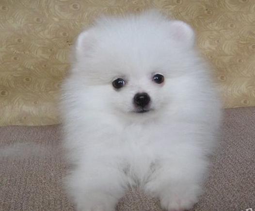 家养纯种哈多利球形博美犬出售。可上门可发货。包健康2