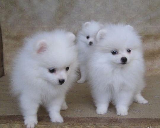 家养纯种哈多利球形博美犬出售。可上门可发货。包健康1