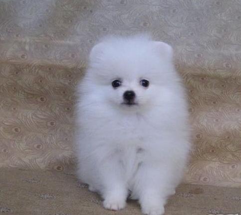 家养纯种哈多利球形博美犬出售。可上门可发货。包健康3
