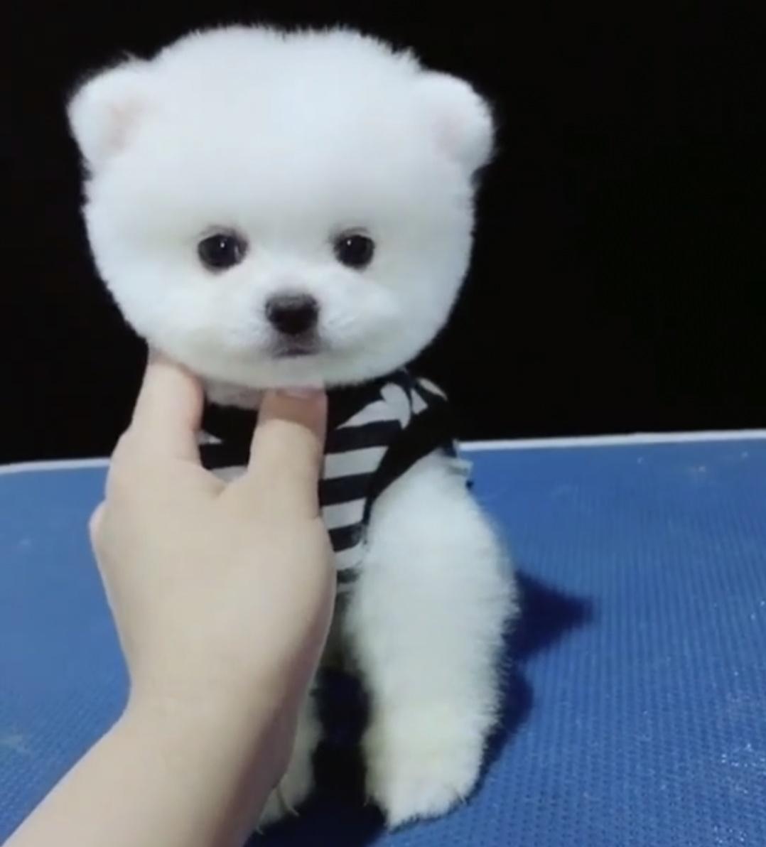纯种俊介球体博美 活体小型宠物犬 血统带证书