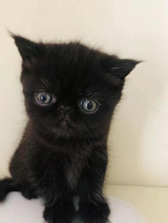 自家养全黑加菲猫妹妹