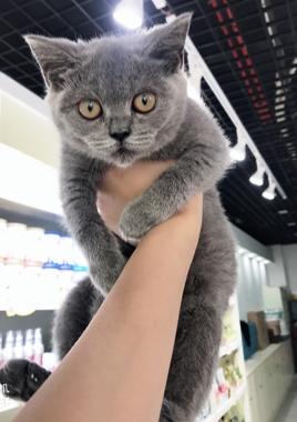 正规机构认证猫舍,可自提可发邮,包售后