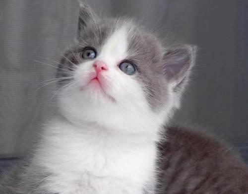 东莞哪里有卖纯种蓝白猫咪的最纯种最健康