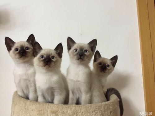 活泼聪明深圳哪里有卖暹罗猫