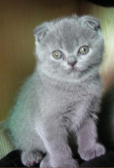 深圳哪里有蓝猫卖 深圳哪里有猫舍