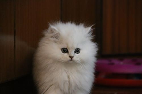 深圳哪里有卖金吉拉猫幼猫的,纯种金吉拉猫哪里买好