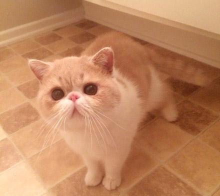 深圳有没有加菲猫深圳哪里有加菲猫卖 自家繁殖