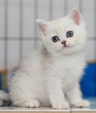 佛山哪里有卖渐层猫价格多少银渐层好养吗