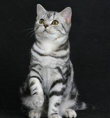 美短加白一只多少钱?深圳哪里有卖虎斑小猫咪