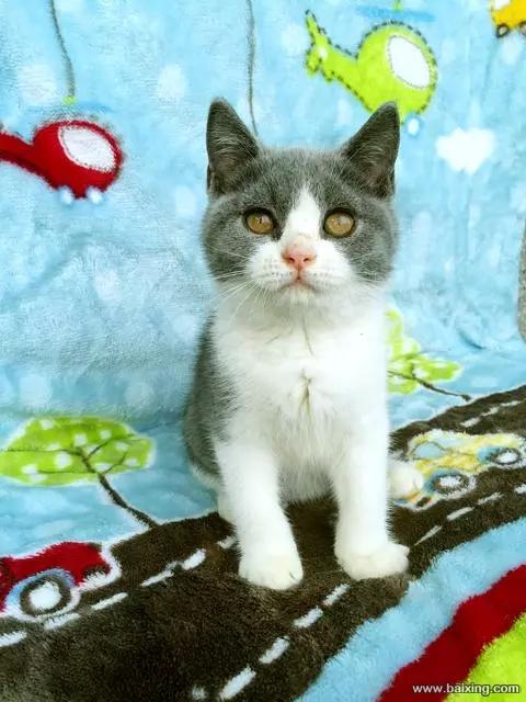 低价出售纯种蓝白猫深圳哪里有卖蓝白 蓝白猫多少钱