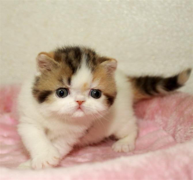 深圳哪里有正规的猫舍 加菲猫价格多少 深圳哪里有卖加菲猫
