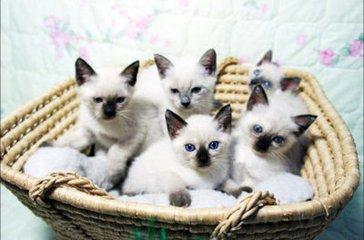 CFA猫舍暹罗幼猫深圳哪里有卖暹罗猫