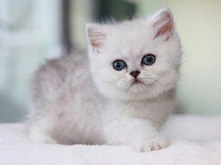 广州哪里有卖银渐层英短短毛猫