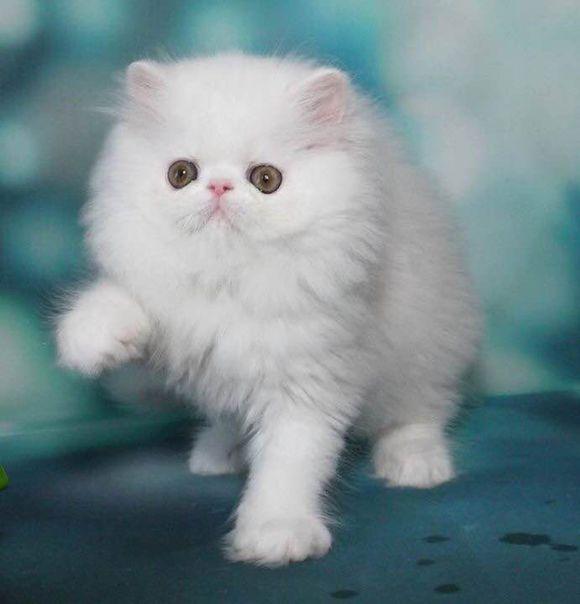 加菲出售,包子脸广州哪里有卖加菲猫多少钱