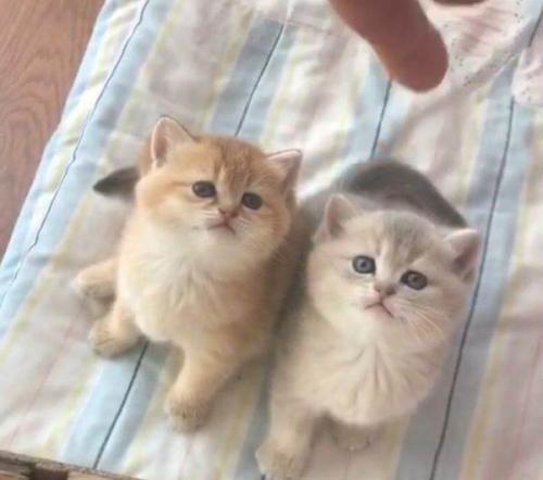 金渐层蓝眼睛 可上门挑选广州哪里有卖金渐层猫