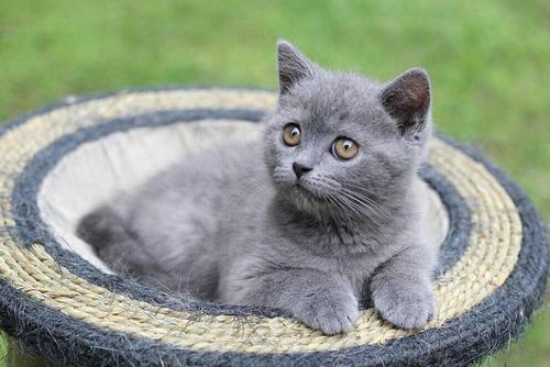 价格优惠蓝猫东莞哪里有卖纯种英国短毛猫蓝猫