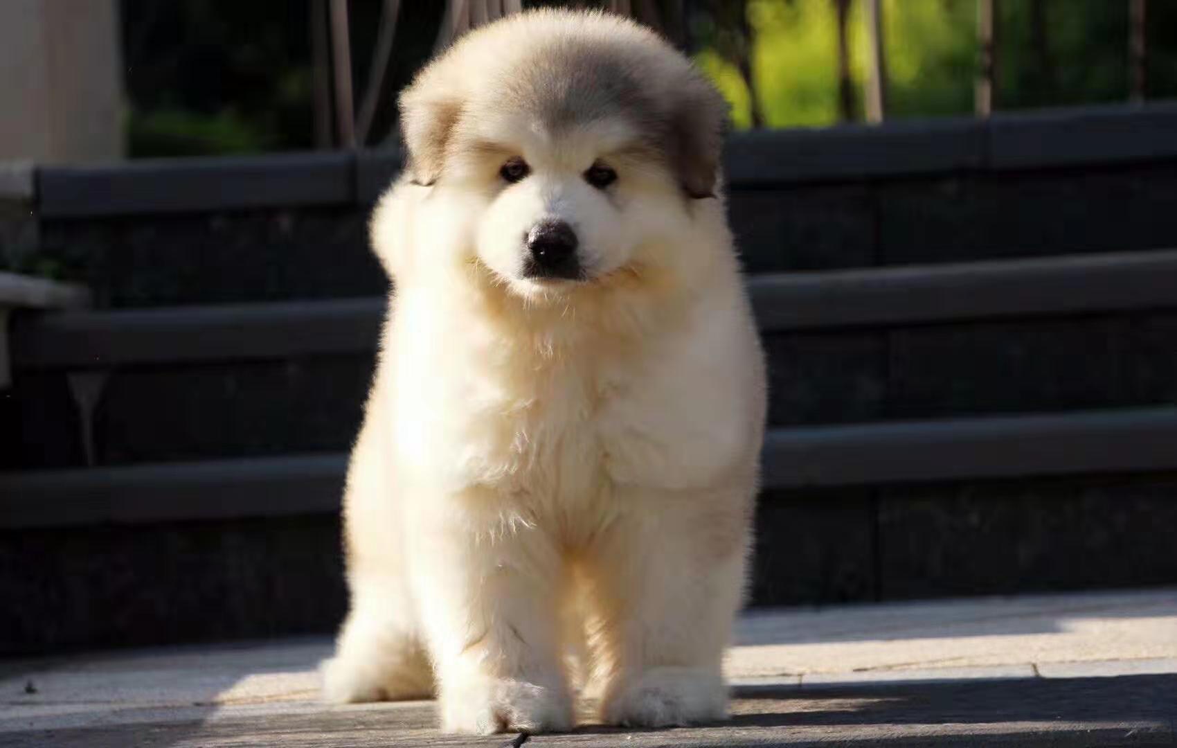 犬舍繁殖纯种健康的高端阿拉斯加幼犬4